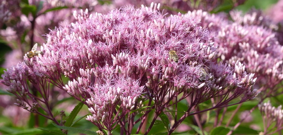 Joe Pye Weed 101 How Why To Grow This Native Plant Bird