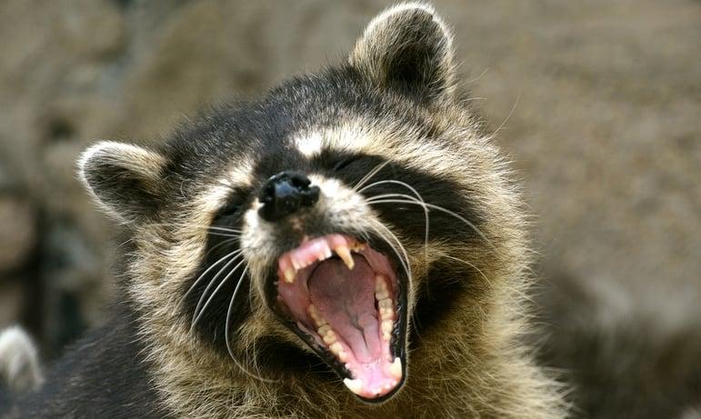 raccoons off bird feeders