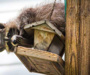 7 Ways To Keep Raccoons OFF Your Bird Feeders! (2020)