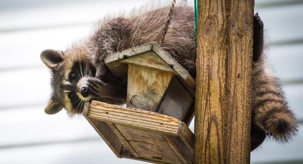7 Ways To Keep Raccoons OFF Your Bird Feeders! (2020 ...