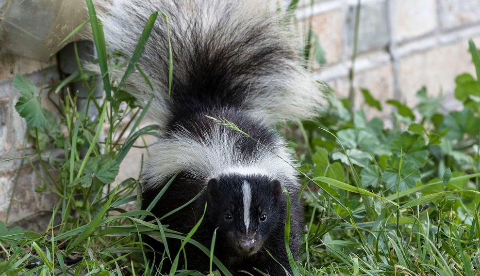 interesting skunk facts