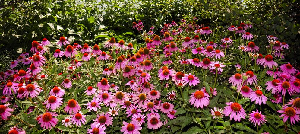 where to grow purple coneflower