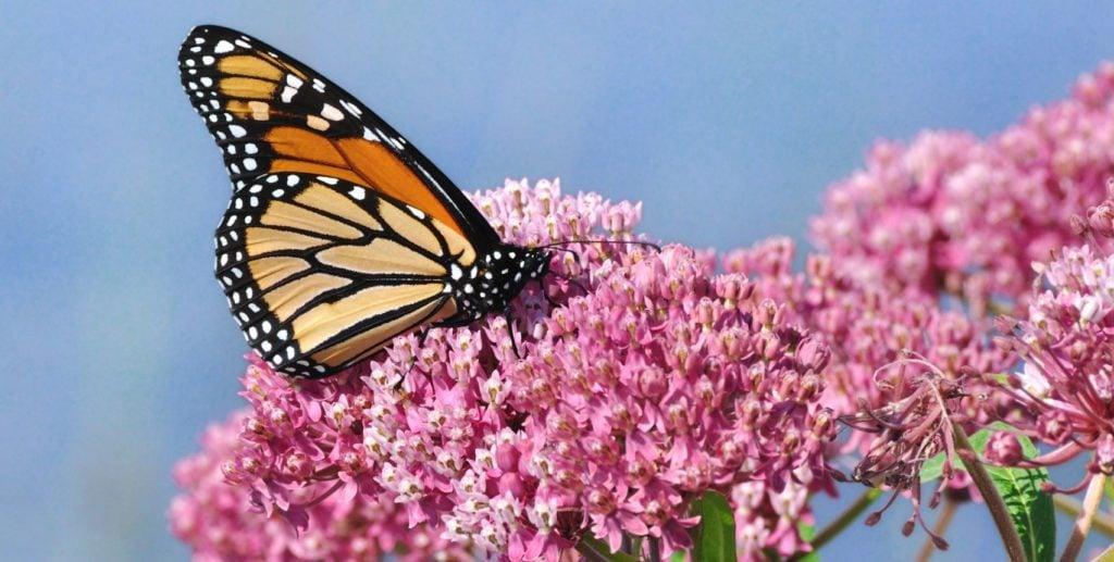 monarch butterfly on milkweed flower