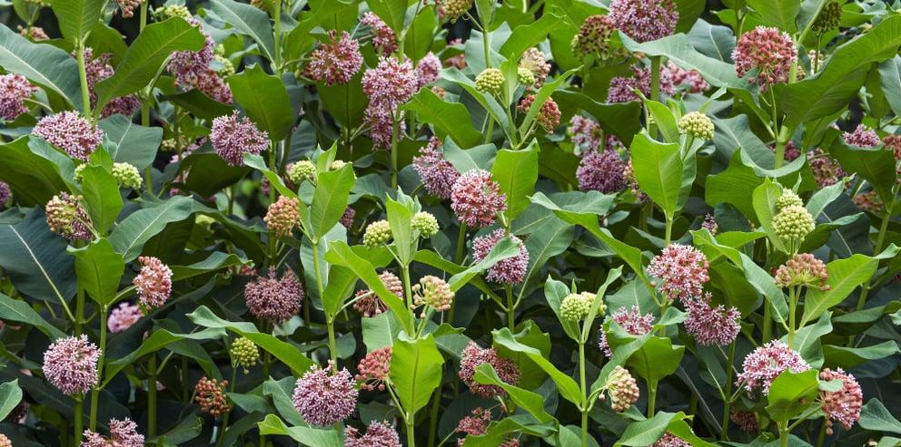 what is milkweed?