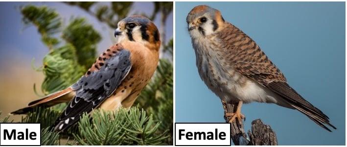 common falcons