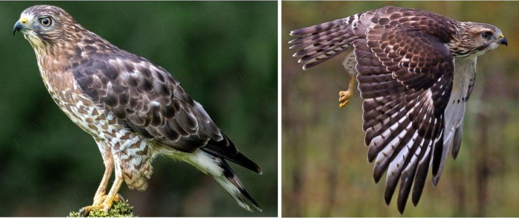 United States birds of prey species