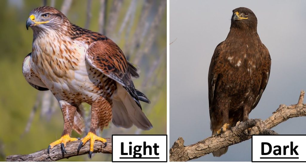 Kinds of birds of prey in United States