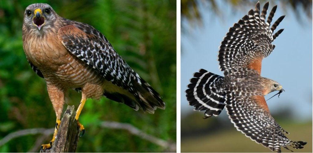 Common birds of prey species in United States