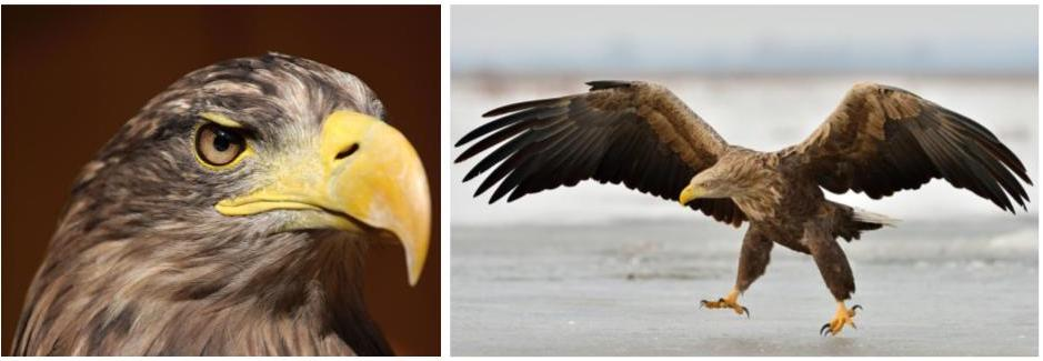 white tailed eagle - common eagles in the united states