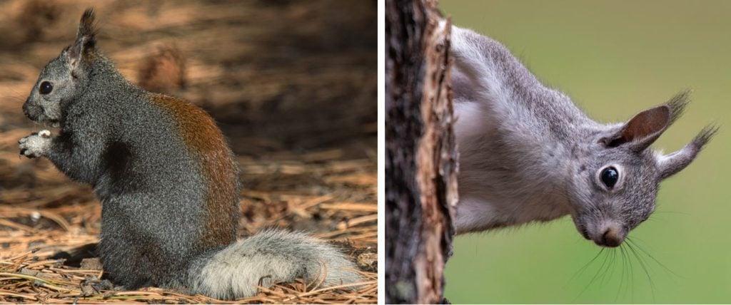 aberts squirrel