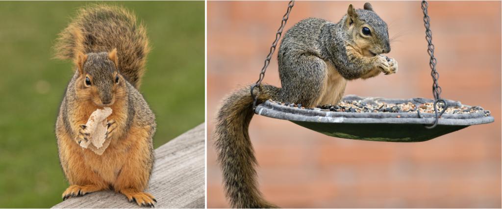 common fox squirrels